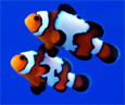 >Breeder Clownfisch Black Ice